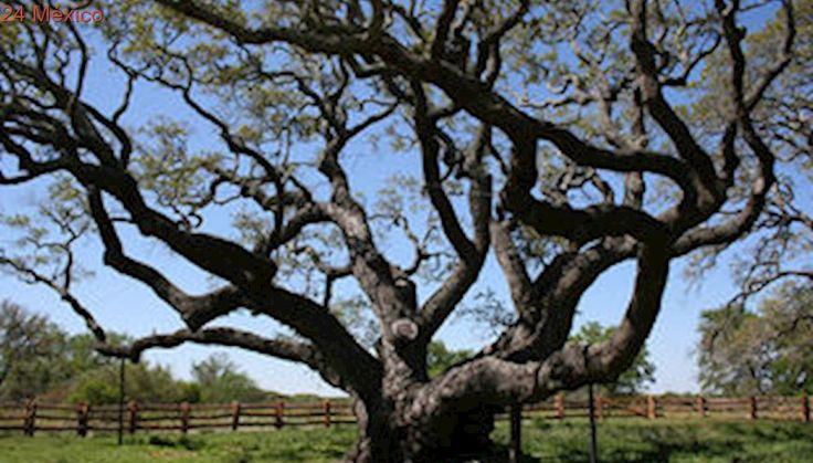Este árbol de mil años resistió de pie el paso de 'Harvey'
