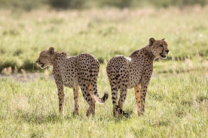 Cheetah brothers at Kalahari Plains #Botswana