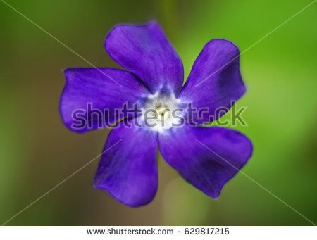 Wild purple flower on meadow. Soft look blurry background.