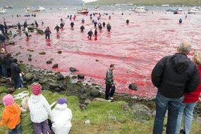 "We kill whales because its communal, natural and sustainable' say Faroe Islands officials  THE Faroe Island authorities defend the right to hunt whales because it is ""sustainable and regulated, communal and natural"".  . Cruise lines to abandon Faroe Islands following horrific mass whale slaughter"