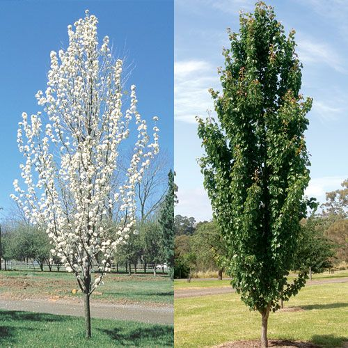 Landscaping With Pear Trees : Best images about top narrow trees on