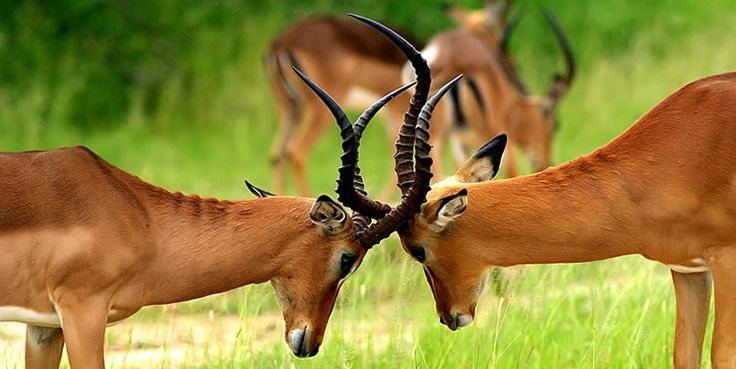 #Kenyasafariholiday is  the best safari vacation in Kenya. Come with your family and enjoy the safari vacation in Kenya. Check more @ http://kenya-safaris.co/on-safari.html