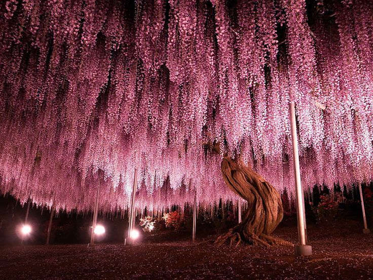 This 144-Year-Old Wisteria In Japan Looks Like A Pink Sky,- lovely photos July 2014