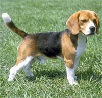 I've also been thinking that I should get a beagle. They might be more suited for apartment living...