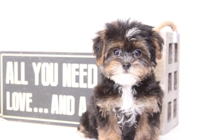Tommy: ShorkiePuppies for sale. Click on my picture to see more pictures and to learn more about me!