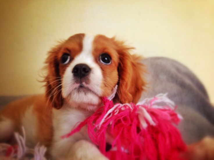 """""""Charlotte"""" King Charles Cavalier playing with my toys"""