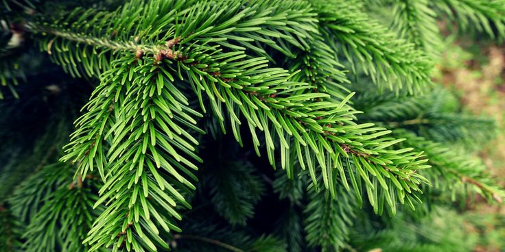Fir provides Ireland's finest Christmas trees. Arrange a free viewing and have 3-12ft, non-shedding, Nordmann Fir trees delivered for viewing at your home.