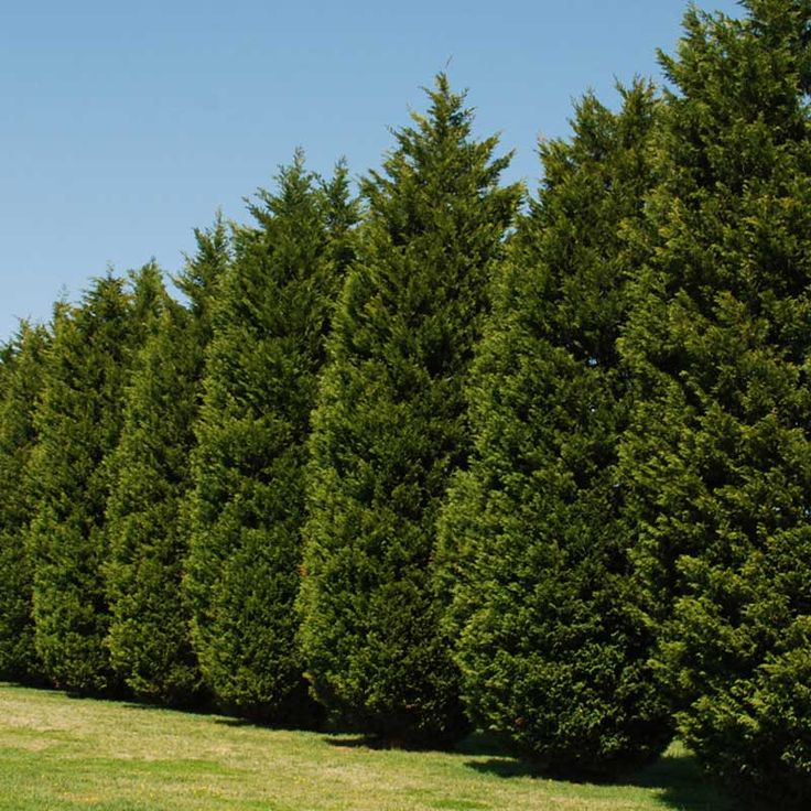 Try Leyland Cypress Fast Growing Evergreen Trees Grow 3 400 x 300