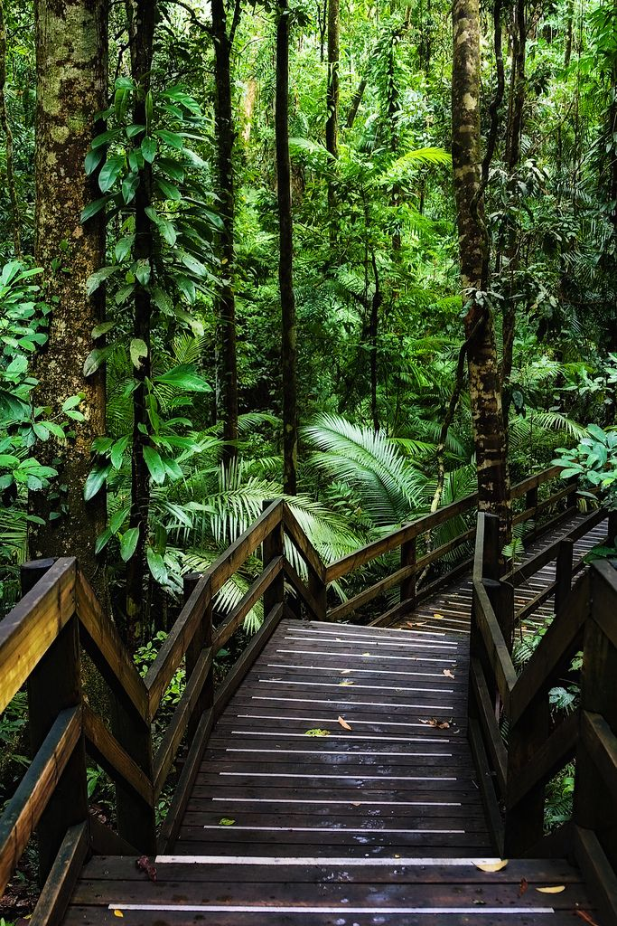 Wooden trail in Daintree Rainforest, Australia, one of the oldest surviving forests in the world.