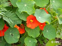 Bauerngarten im Wachsen: Kapuzinerkresse - Zierpflanze und Würzkraut