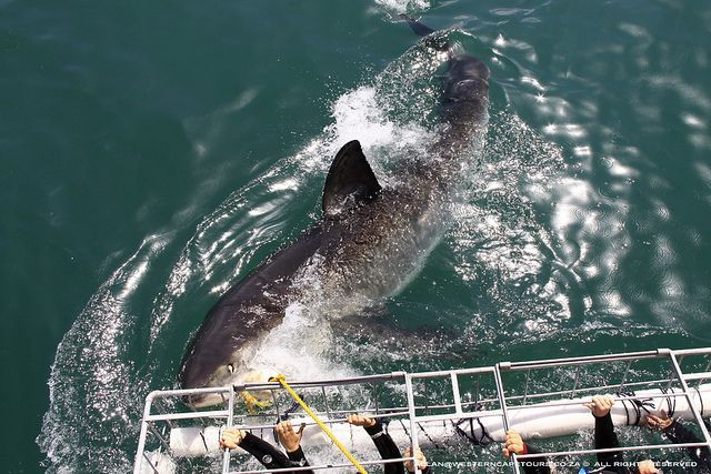 An experience to remember. Shark Cage Diving - Shark Alley in Gansbaai, South Africa.