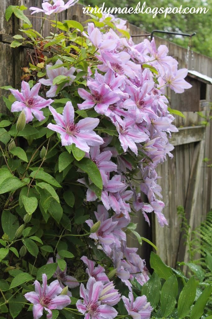 Nelly Moser clematis - ahhh I miss my Nelly from our last home.  Must get a new one for here!  A great vining perennial that is a gift that keeps on giving each year!