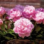 Peonies Bulbs Sarah Bernhardt (Set of 6 Roots)