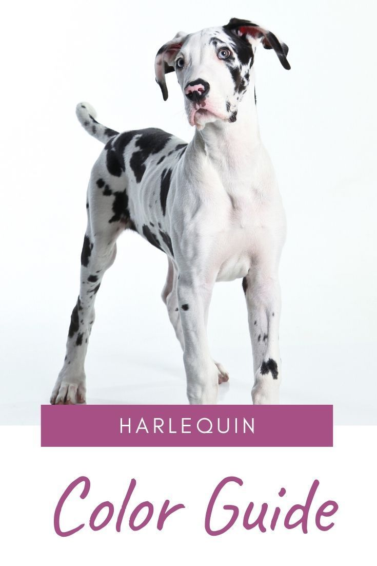 Follow These Easy Tips To Recognize The Harlequin Great Dane Color