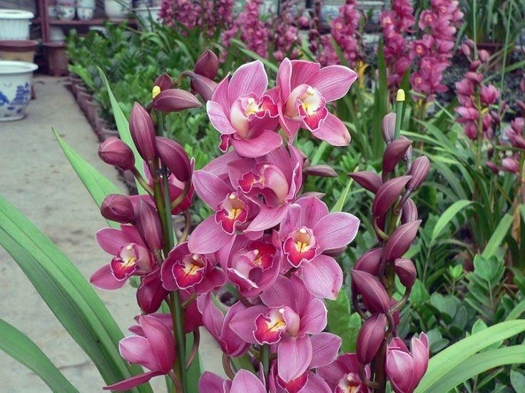 1000 idee su fiori orchidea su pinterest orchidee for Semi orchidea