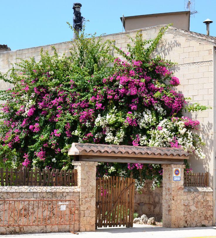 Bougainvillea in Mallorca
