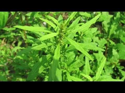 EPAZOTE para adelgazar - YouTube | Mi salud cuidae