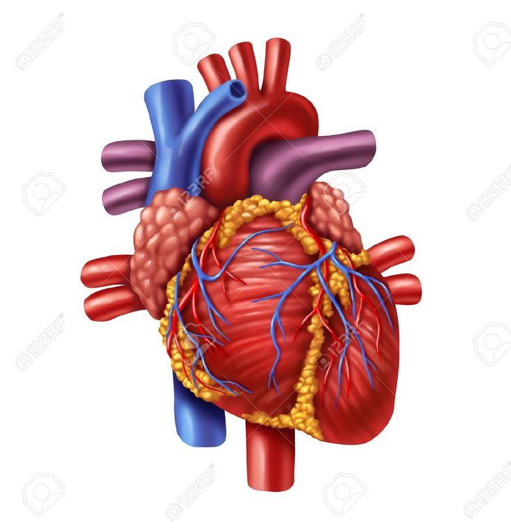 menselijk hart - Google zoeken