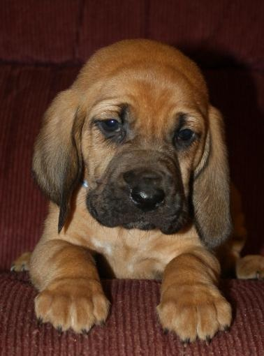 A Bloodhound To Die For Best 25+ Bloodh...