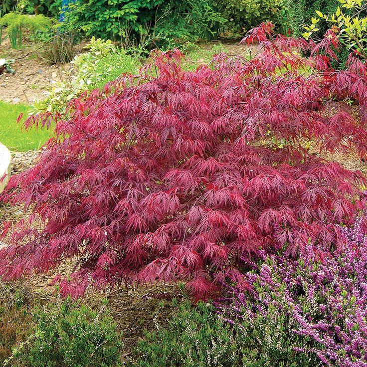 Acer palmatum var. dissectum 'Rubrum' - Trees - Thompson ...