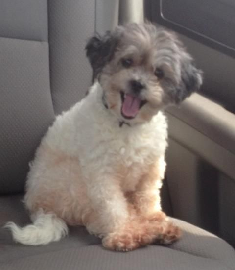 My name is Swampy, but Foster Mom calls me Odie and Foster Dad calls me Bacon.  I'm a young Shihpoo from South Louisiana, more specifically a parking lot by a hotel in Baton Rouge,La.  I love when Foster Mom tells me the story of my rescue, except...