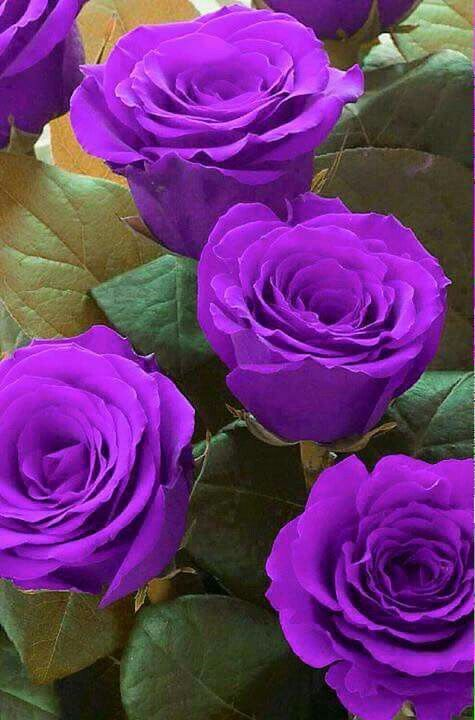 ♡beautiful purple roses                                                       …