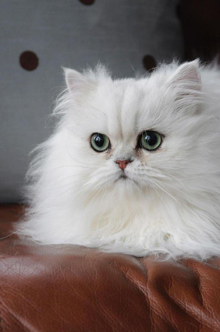 White Male Persian Cat Names