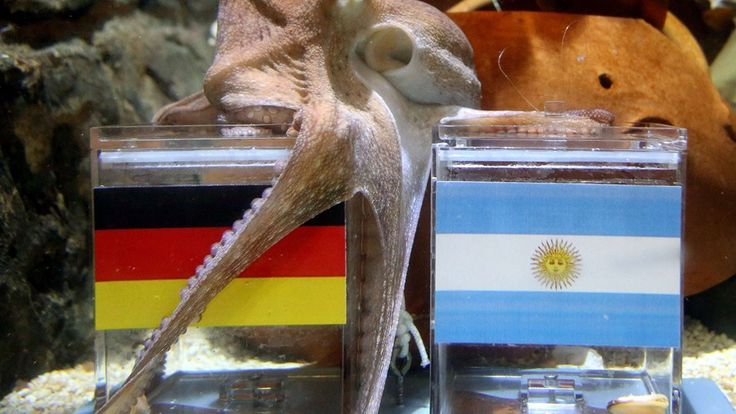 """Male octopus """"Kleiner Paul"""" (Little Paul) embraces with its tentacles a feeding box covered with the German flag (L) next to a box with the Argentinian flag during an oracle event at Sea Life Aquarium in Oberhausen, western Germany on July 11, 2014"""