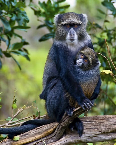 Blue Monkey or Diademed Monkey - Central and East Africa, ranging from the upper Congo River basin, east to the East African Rift and south to northern Angola and Zambia