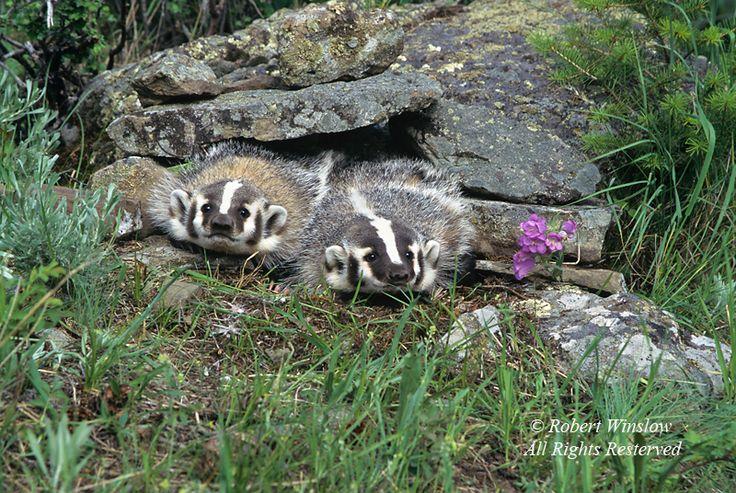 symbiotic relationship between coyote and american badger