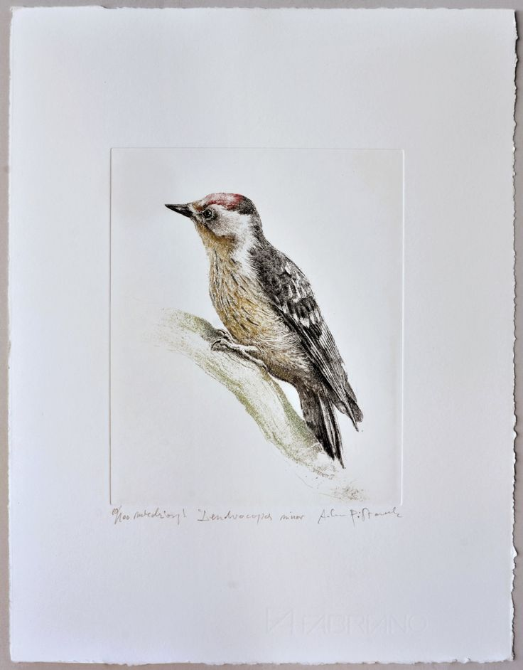 Lesser spotted woodpecker (Dryobates minor) - handmade copper-plate engraving print home decor by AtelierPoltorak on Etsy