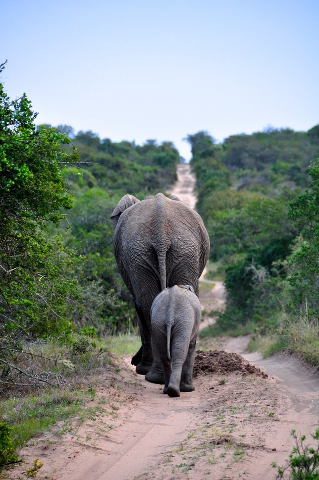 Walk The Line    Photo and caption by Nicolas Lacoste-Garanger    A peacefull walk of the African Elephant in the Amakhala Game Reserve, South Africa.