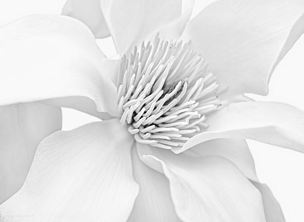 Magnolia Flower Blossom Monochrome soft gray.