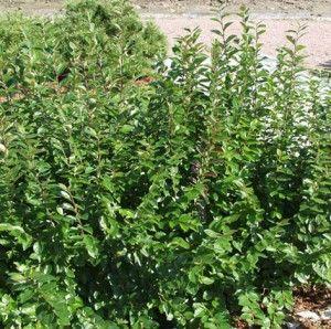 Cotoneaster lucidus, Kiiltotuhkapensas