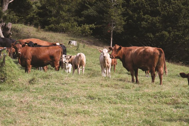 Laurie Copland produces 170-220kg of beef per hectare a year.