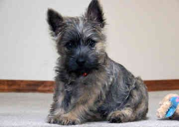 Cairn Terriers...this dog is the beloved Toto. I love my carin terrier, such smart little dogs :)