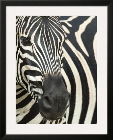 Burchell's (Plains) Zebra (Equus Burchelli), Mhkuze Game Reserve, Kwazulu Natal, South Africa Framed Photographic Print
