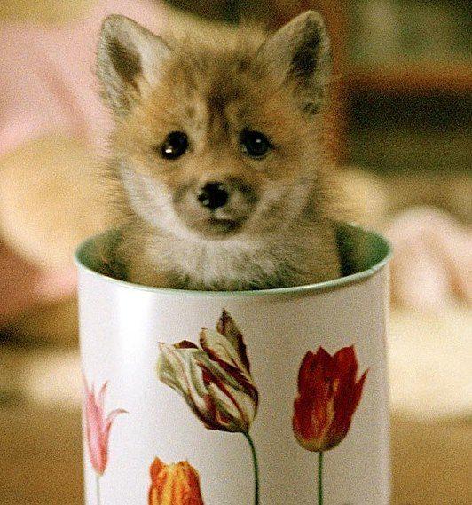 tea cup of lovable antics. baby fox!!!!