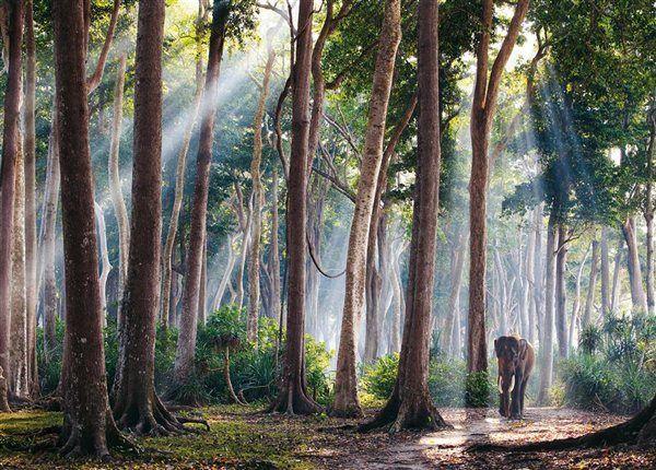 ndia— En comparación con los árboles, este visitante del bosque lluvioso de la isla de Havelock parece diminuto. Rajan, un elefante asiático retirado del sector maderero, da el mismo paseo todas las mañanas, y a veces se baña en el mar de Andamán.