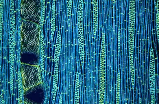 Wood cells of Ilex aquifolium (holly), a tangential section, Micropolitan Museum © Wim van Egmond