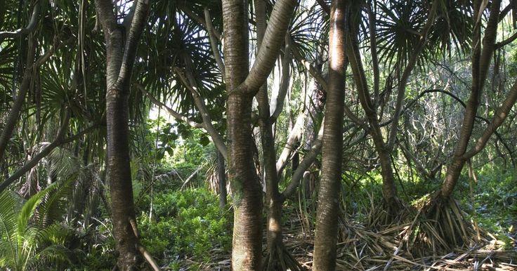 ¿Qué son las raíces fibrosas?. Los sistemas de raíces fibrosas, también llamados sistemas de raíces difusas, fasciculadas, o adventicias, son estructuras de raíces caracterizadas por numerosas raíces de igual tamaño que se extienden en una red compleja desde la base de la planta. El sistema de raíces fibrosas exhibe una gran diferencia con el sistema de raíces primarias en ...