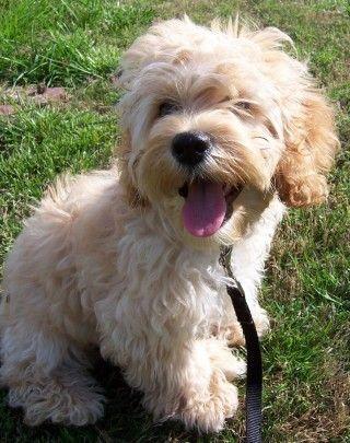 Cockapoo!!! I want this pup!