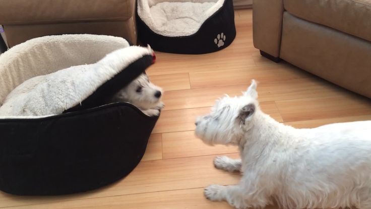 Dog Plays With His Bed