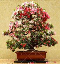 Новое Поступление 20 ШТ. Редко Бонсай Азалии Семена Многолетнее Семена цветов Красивые Растения Для Сада Легко Выращивать(China (Mainland))