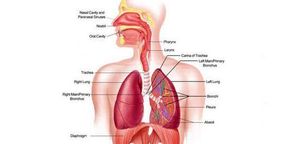 Image result for a&p 2 lab practical respiratory system