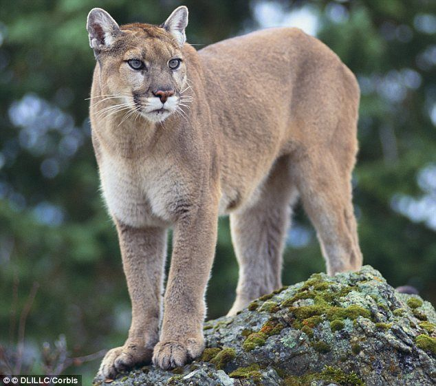 Colorado Runner Kills Mountain Lion: Dog Owner's Horror As Mountain Lion Snatches And Eats His