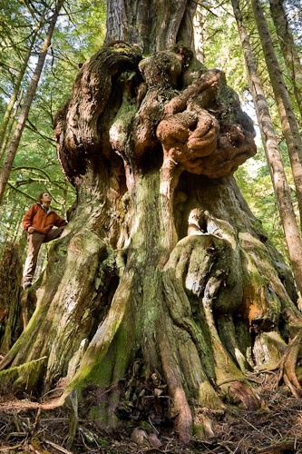 Ancient tree in British Columbia,Canada