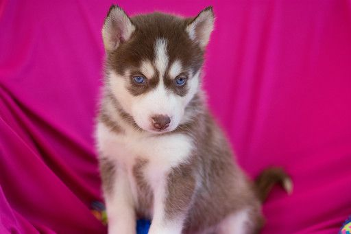 Siberian Husky Puppy For Sale In Kent Oh Adn 62367 On