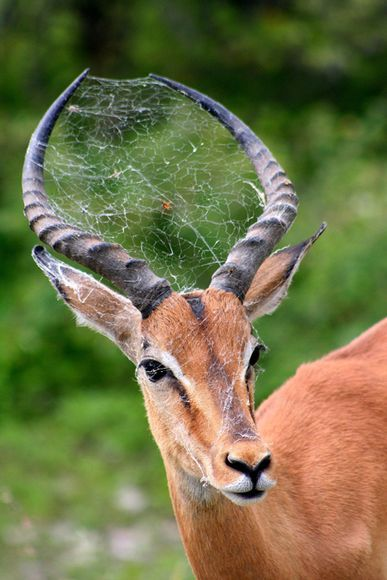GROSS! Spider web in an Impala's horns and face! Did it walk through it? Or did the spider make its web there??