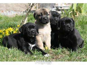 Animale de companie, Vanzari, cumparari, Vand caini cane corso bucuresti, imaginea 1 din 1